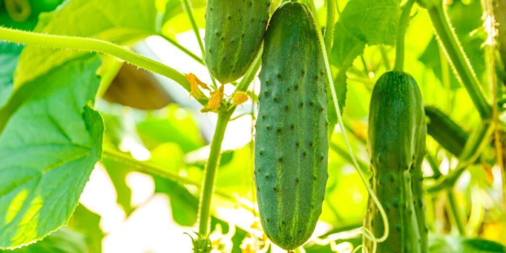 огурцы на подоконнике зимой выращиваем
