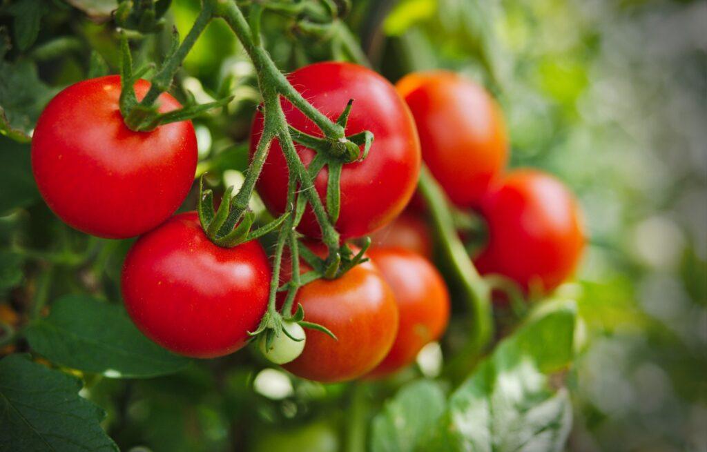 помидоры овощ