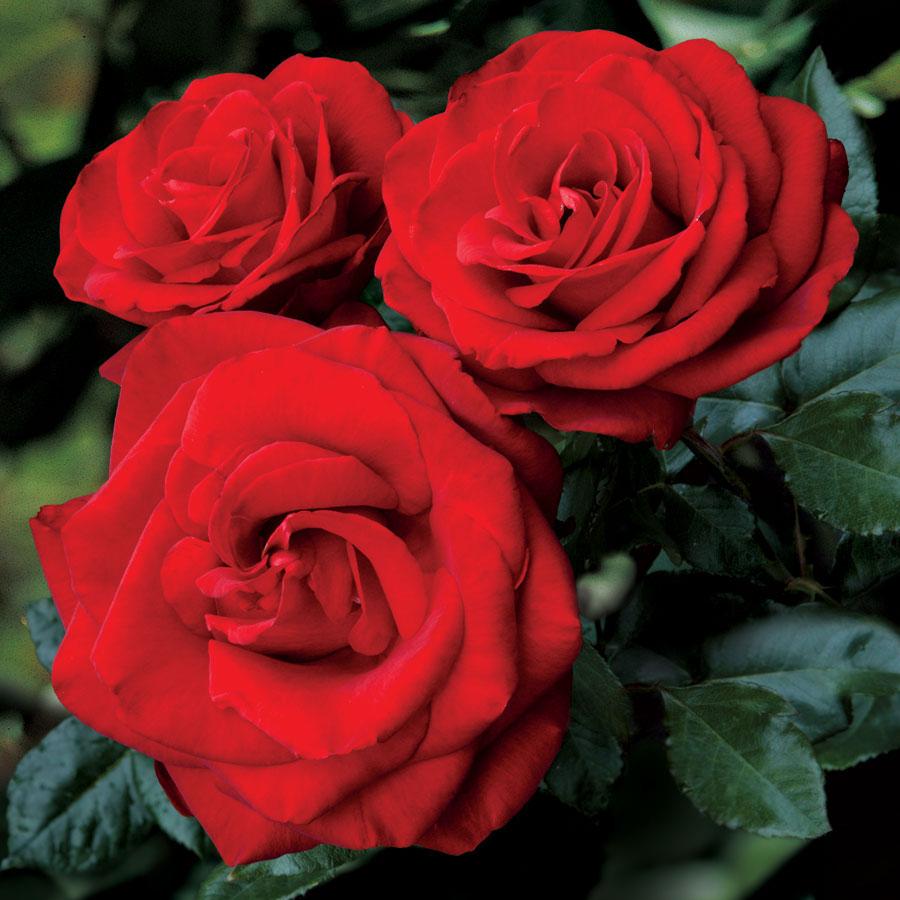 розы зимой уход