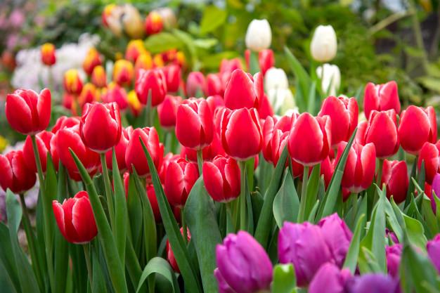 Подготовка почвы для посадки садовых тюльпанов