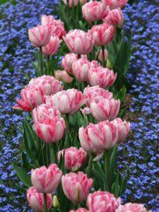 тюльпаны посадка