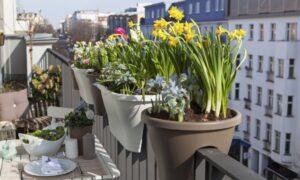 Выращивание тюльпанов на балконе