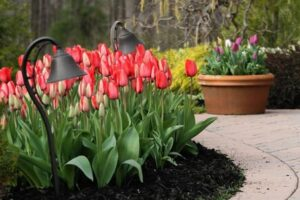 Выращивание тюльпанов на даче