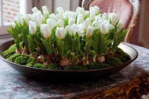Выращивание тюльпанов в горшках дома
