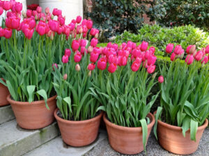 Выращивание тюльпанов в горшках у дома