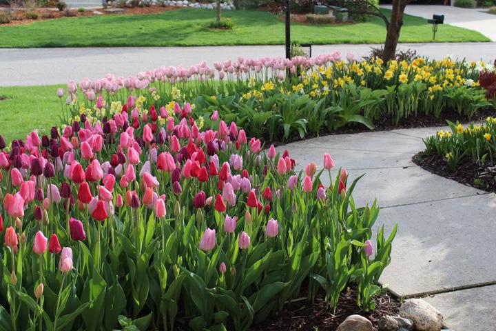 Выращивание тюльпанов вдоль дома