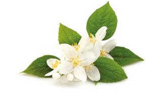 жасмин цветы
