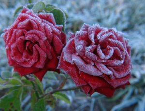 зимние розы уход