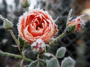 зимние розы уход январь февраль декабрь