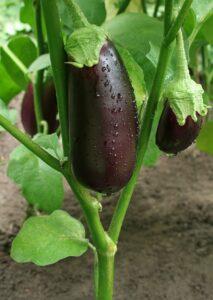 баклажан выращивание