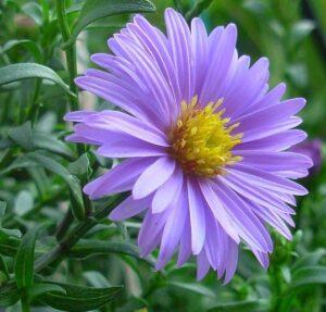 цветок астры