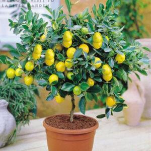 дерево лимон дома