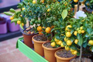 лимон цитрусовые дома
