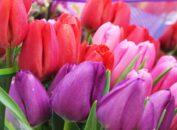 Защита и выбраковка тюльпанов