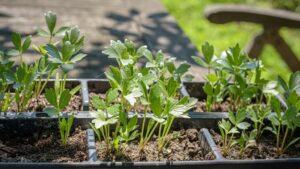 Как вырастить любисток в доме и саду