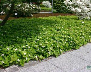Канадский кизил замена газону