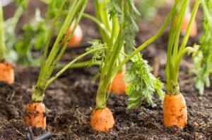 морковь выращивание